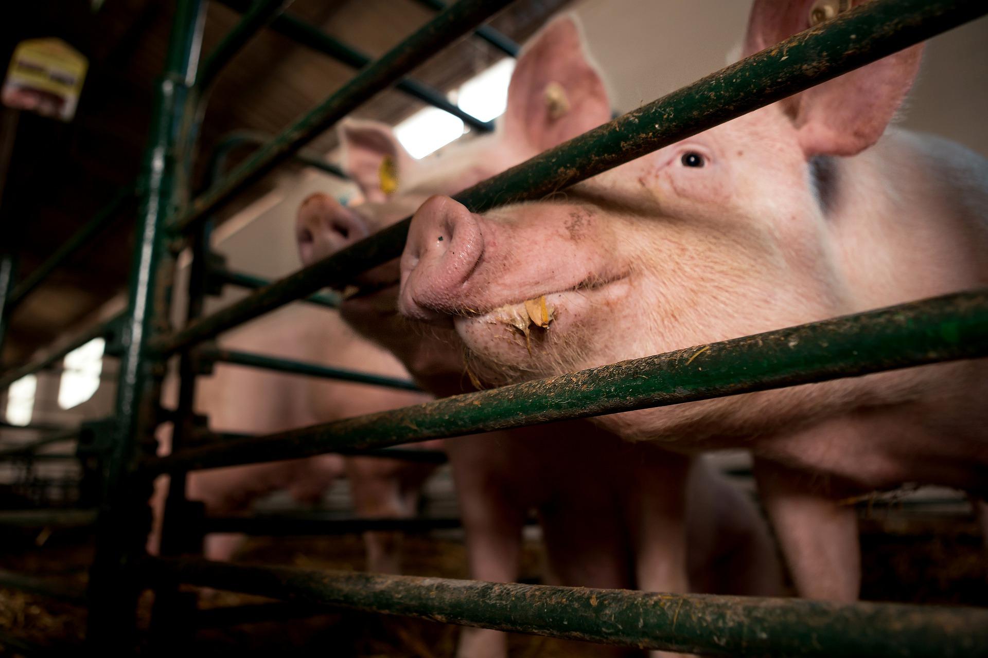 ¿Qué hacemos en Frigo antes del proceso de beneficio de los cerdos?