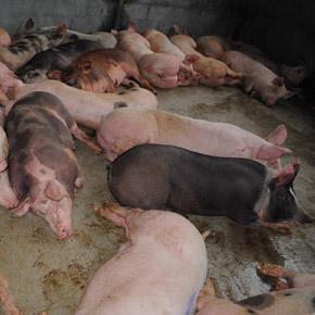 Importancia de la bioseguridad en una explotación porcina