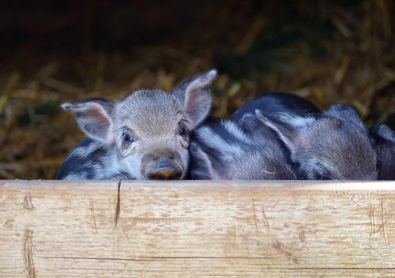 ¿Puedes tener un cerdo de mascota?